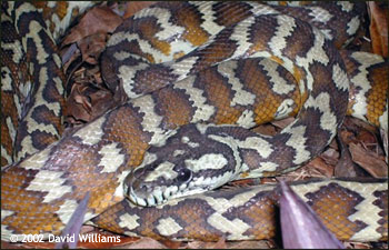Papuan Python - Reptile Forums