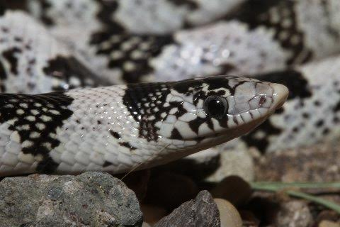 Except for its color this long-nosed snake was of typical appearance