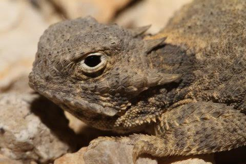 A profile of the round-tailed horned lizard.