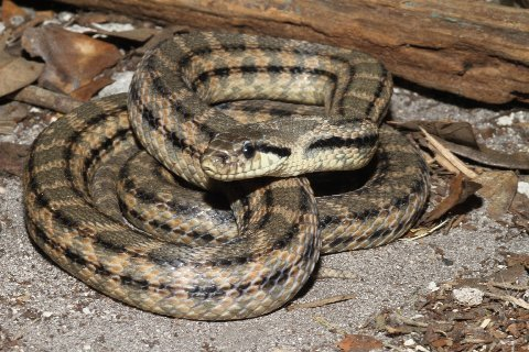 At two-and-a-half years of age, the snake's stripes are well defined and the blotches are beginning to fade.
