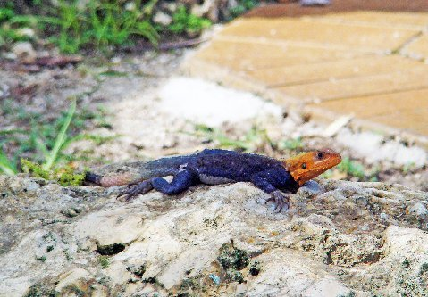 A beautiful male red-headed agama at Fairchild Gardens in Miami.