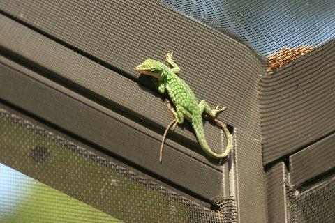 A female Green Anole on our screened deck
