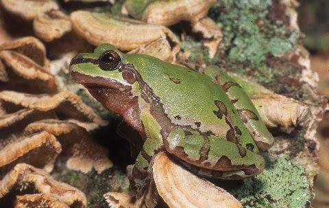 A seldom seen hylid, The Arizona treefrog.