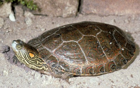 Note the tiny red spot behind the eye as well as the red ear on this adult Big Bend slider.