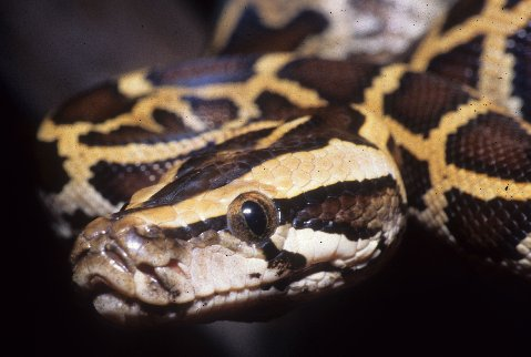 A Burmese python hatchling in the Everglades
