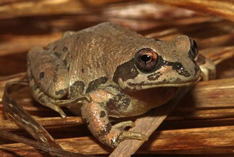Strecker's chorus frog is usually of some shade of brown but may rarely assume a green ground color.