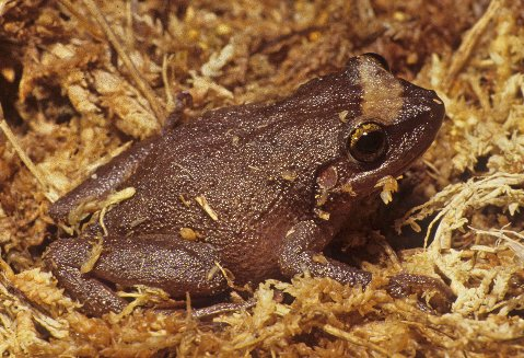 This is a typically colored coqui.