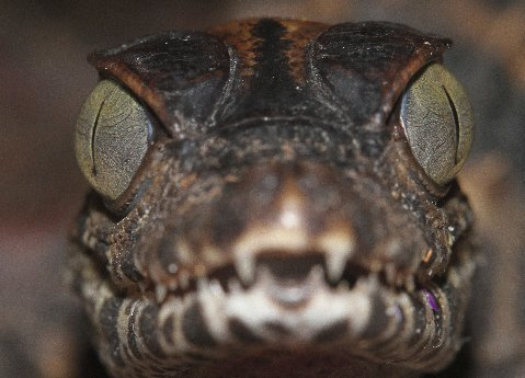 I would call this an intent look! Juvenile smooth-fronted caiman.
