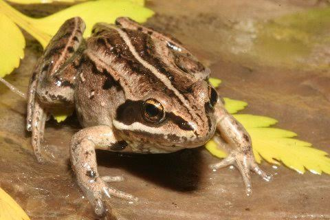 Dorsal aspect of the 'Rocky Mountain' wood frog.