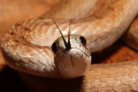 Narrow of head and slender of girth, the northern brown snake.