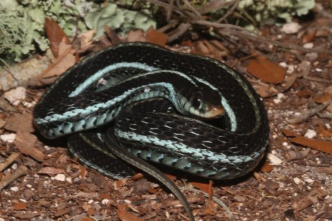 Blue-striped Garter Snakes, Thamnophis sirtalis similis, were actively consuming freshly killed anurans from the road