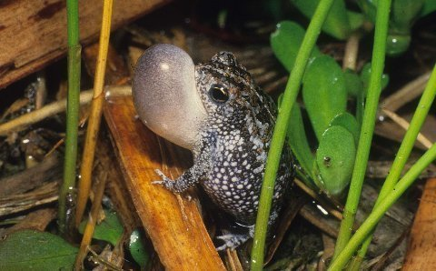 Choruses of Oak Toads, Bufo quercicus, were almost deafening