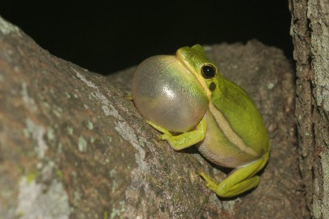 Vast numbers of Green Treefrogs, Hyla cinerea, were vocalizing