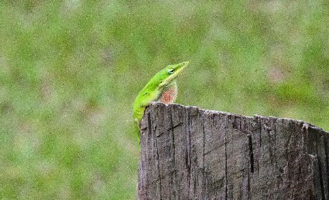 Green Anole with a throat of intermediate color, Oscar Scherer SP, FL