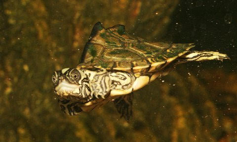 This is a hatchling Escambia map turtle.
