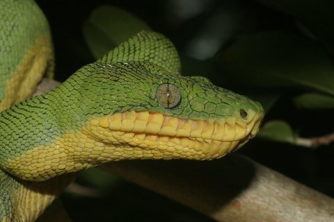 Facial aspect of an adult Basin Emerald Tree Boa.
