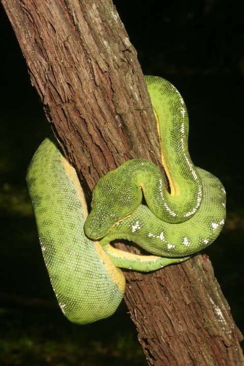 We haven't found one yet! Basin Emerald Tree Boa.