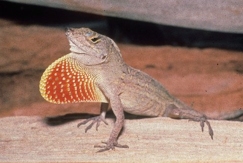 Male brown anoles have a  cream or yellow edged red dewlap.