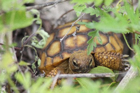 As we watched this post-hatchling gopher tortoise browsed on many plant species.