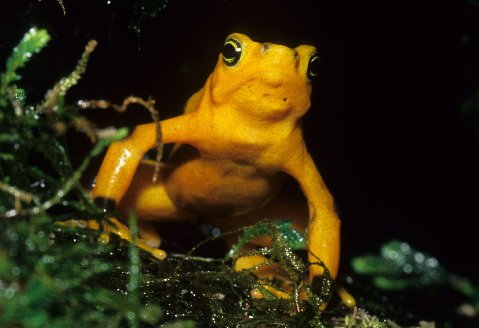 A beautiful Panamanian Golden Frog at the National Aquarium in Baltimore.