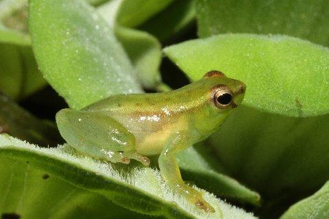 "Pygmy hatchet-faced treefrog, Sphaenorhynchus carneus. ""Baby Bear"""