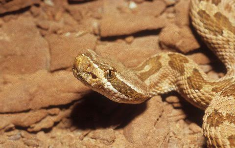 Call it what you choose, this population contains some of our prettiest rattlesnakes.
