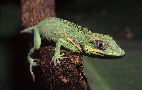 This is a post-hatchling sized knight anole.