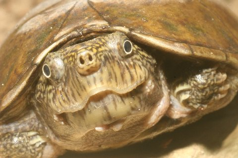 The little flattened musk turtle has powerful jaws.