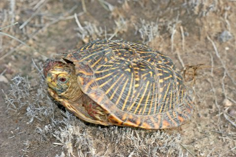 Male desert box turtle