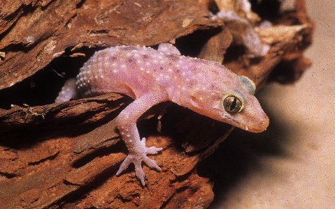 A Mediterranean gecko peers from a daytime hiding area.