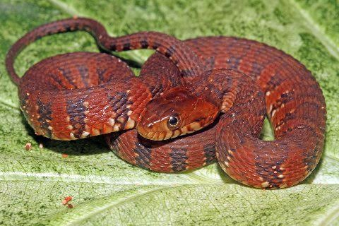 A beautifully colored juvenile Florida banded water snake from Columbia County.