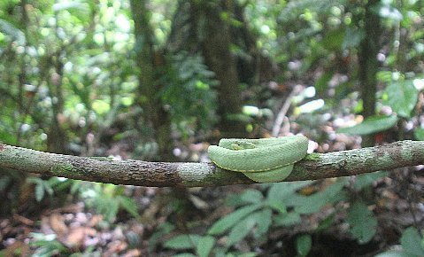 Adult Western Two-lined Forest Pit Viper on a liana.