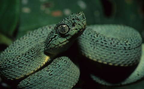Facial aspect of a neonate Western Two-lined Forest Pit Viper