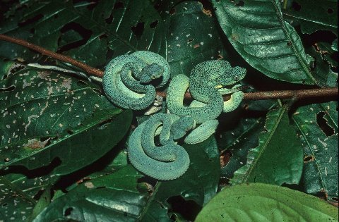 Neonate Western Two-lined Forest Pit Vipers