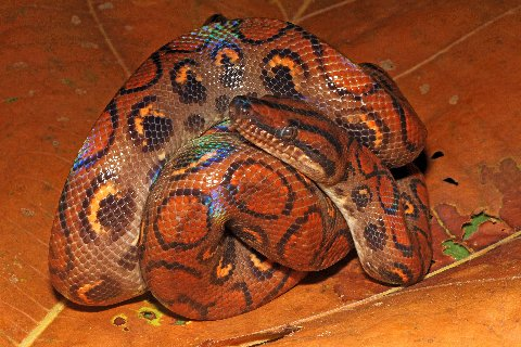 Iridescent highlights play over the scales of the Brazilian Rainbow Boa.