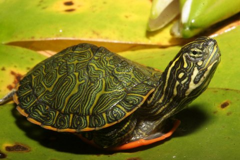 A marvel of Mother Nature; a hatchling Northern red-bellied turtle.