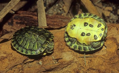 Young red-eared sliders have distinctively marked plastrons. Photo by R.D. Bartlett.