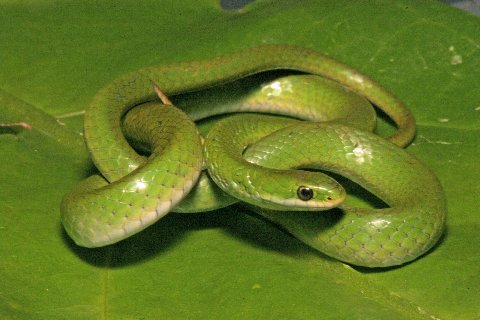 Aptly named, Smooth Green Snakes lack keeling on the scales.