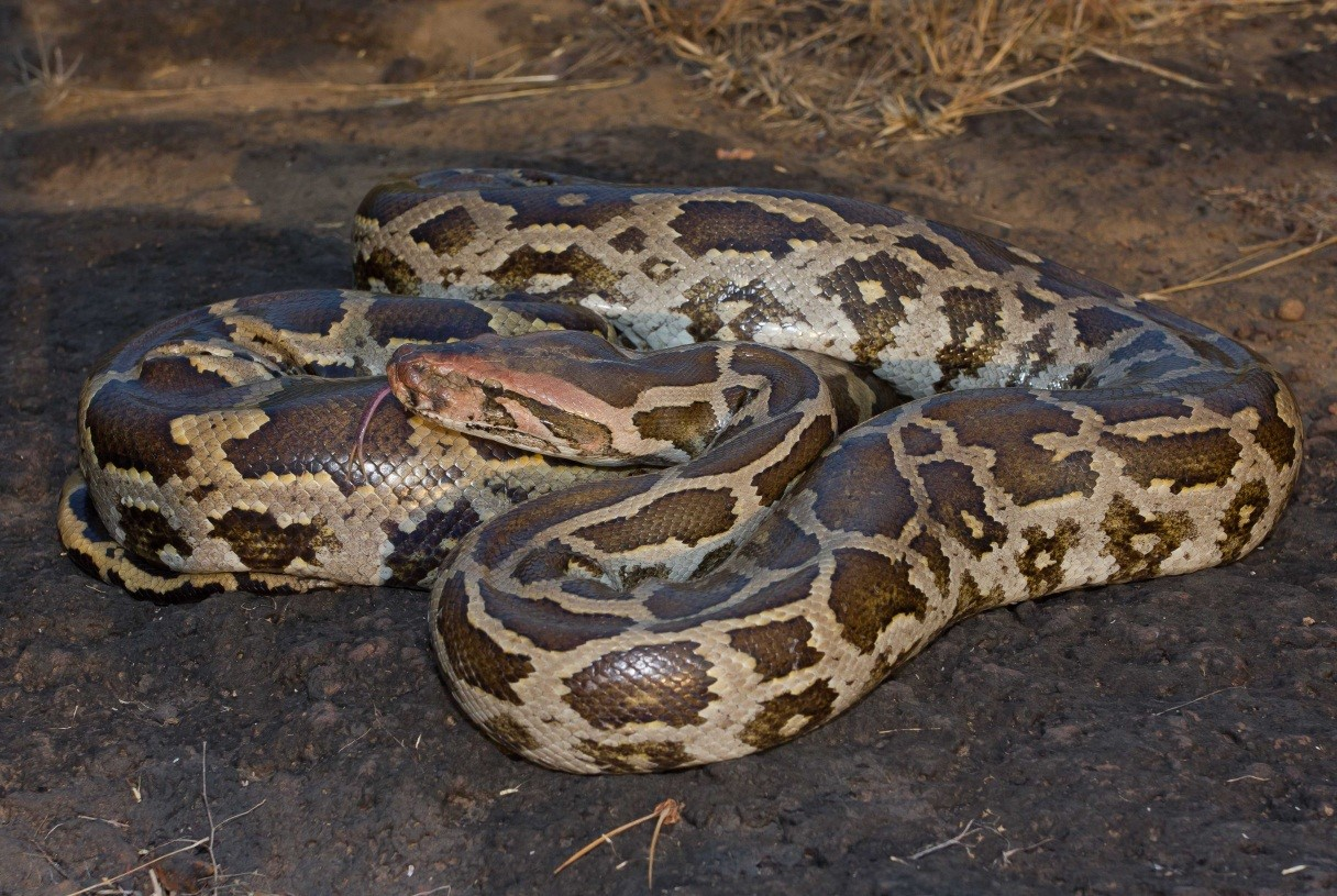 Image result for indian rock python snake