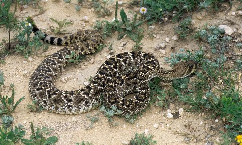 Western Diamondbacks are pretty and usually very defensive<br />