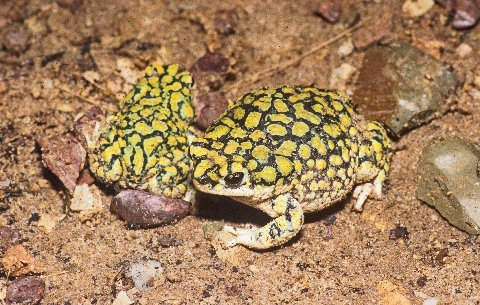A pair of Sonoran Green toads, female on right.