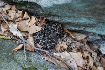 Feeding on mice and other small mammals, an adult male timber rattlesnake consumes 2,500 to 4,500 of the black-legged ticks that carry Lyme disease each year.