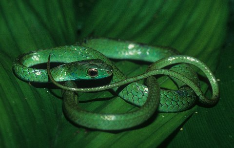 The leaf green hatchling rusty whipsnake is persistently arboreal.