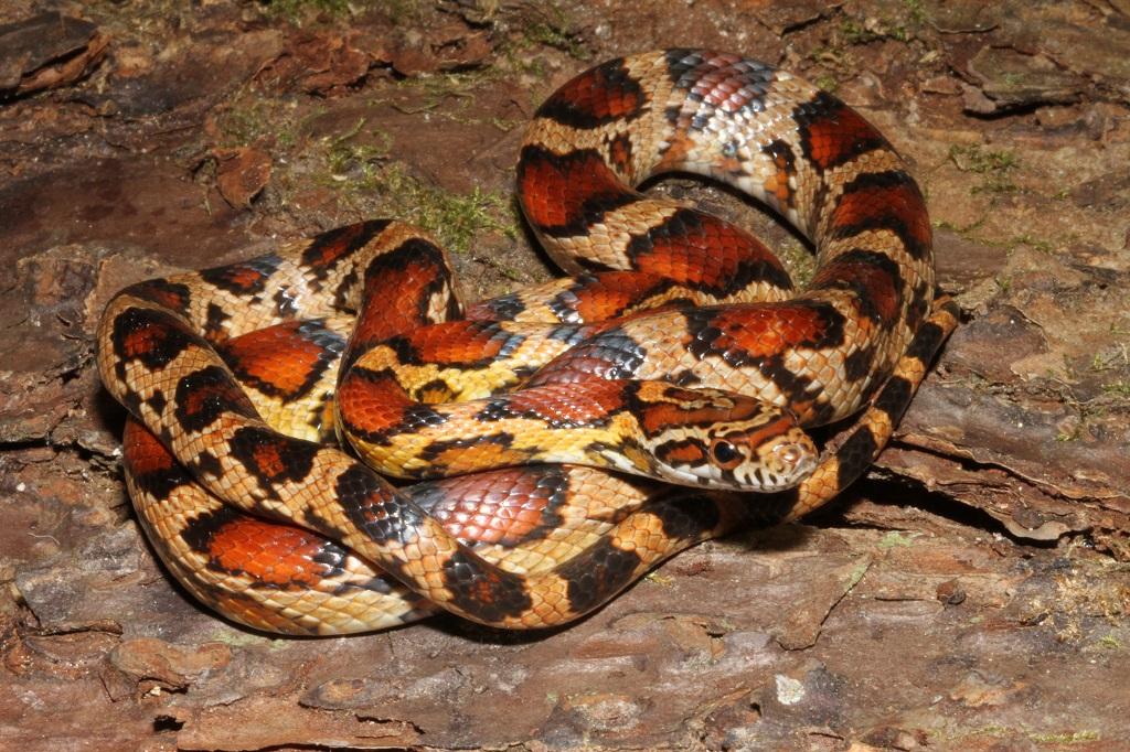 Kingsnake Blog Kingsnake Com Blog Everglades Corn Snakes