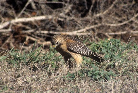 The protagonist, a red-shouldered hawk.