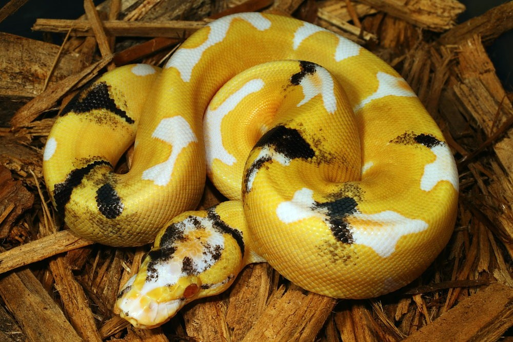 kingsnake blog Kingsnake com Blog - Genetic Super Banded