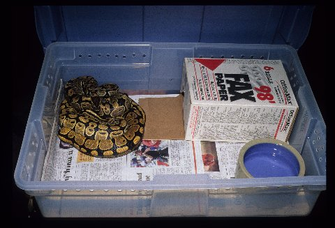 Newspaper, a hide box, and water provide very basic needs for a ball python. Photo by Dick Bartlett.