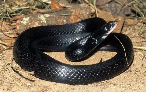 An adult southern black racer.