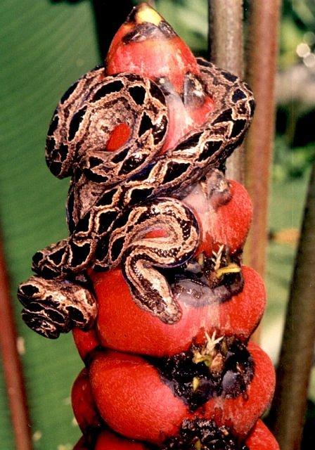 [http://www.kingsnake.com/costarica/snakes/panamen.j pg]
