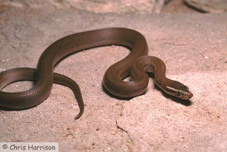 The African House Snake - Care in Captivity
